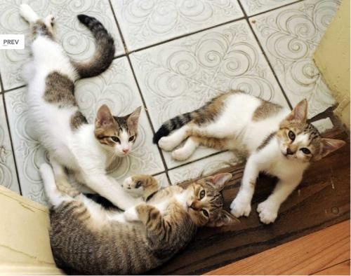 hemingwayscats