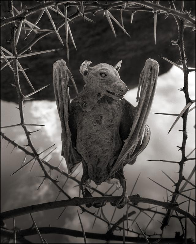 Calcified Bat II